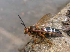 Male cicada killer wasp